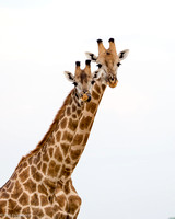 Giraffes on Lookout