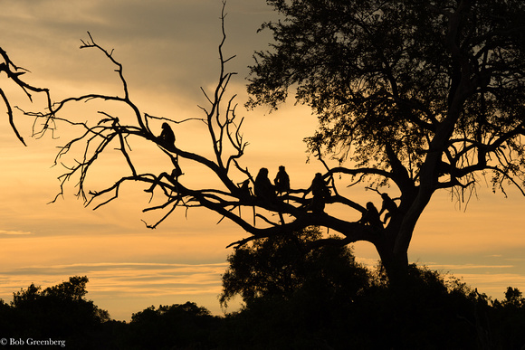 Baboons at Sunset